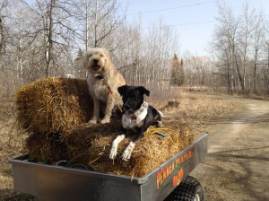 Helping me haul bales for strawbale gardening.